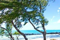 Palmeiras no vento Fotografia de Stock
