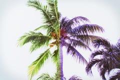 Palmeiras roxas e verdes coloridas em Miami imagem de stock