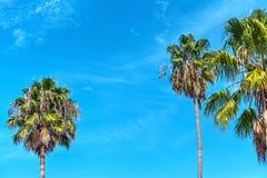 Palmeiras sob um céu azul em Los Angeles Fotografia de Stock