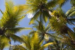 Palmeiras verdes altas Foto de Stock Royalty Free