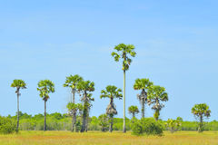Palmen auf dem Feld stockfotos