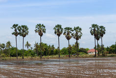 Palmen auf dem Gebiet Stockbilder
