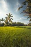Palmen auf einem grünen Reisgebiet lizenzfreie stockbilder