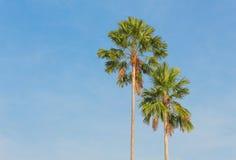 Palmen auf einem Hintergrund des blauen Himmels Stockbild