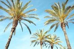 Palmen auf einem Hintergrund des blauen Himmels Stockfotos