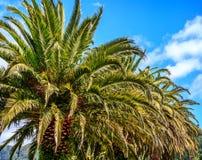 Palmen auf einem Hintergrund des blauen Himmels und der Berge Stockfotos