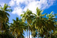 Palmen auf einem Hintergrundhimmel in den Tropen Lizenzfreie Stockfotografie