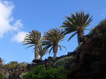 3 Palmen auf Hügel-Seite Lizenzfreie Stockfotografie