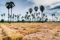 Palmen bij gebiedsrijst na oogst Royalty-vrije Stock Fotografie