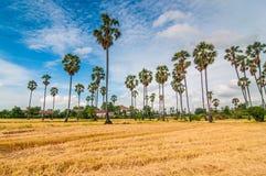 Palmen bij gebiedsrijst na oogst Stock Fotografie