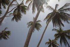 Palmen, Bodembaai, Barbados Stock Foto