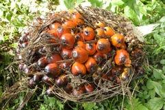 Palmen-Cluster-Frucht flechten Startwert für Zufallsgenerator lizenzfreies stockfoto