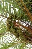 Palmen-Daten Stockfotografie