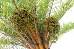Palmen-Daten Lizenzfreies Stockfoto