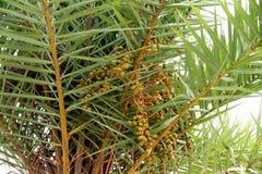 Palmen-Daten Lizenzfreies Stockbild