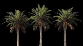Palmen in de wind Met alpha- kanaal Alpha- codec-PNG De mooie zomer voorzag achtergrond van een lus stock footage