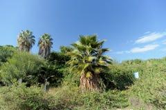 Palmen in den Büschen in Israel Lizenzfreies Stockfoto