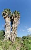 Palmen in den Büschen in Israel Stockfotos