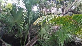 Palmen in der Höhle in Mexiko Tulum stockfotografie