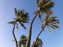 Palmen, die im Wind durchbrennen. Stockbild