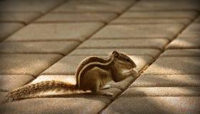 Palmen-Eichhörnchen Lizenzfreie Stockbilder