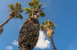 Palmen en een blauwe hemel Stock Afbeeldingen