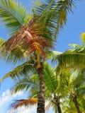 Palmen en een blauwe hemel en een witte wolkenachtergrond Stock Afbeeldingen