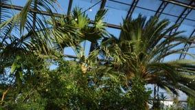 Palmen en uitheemse gewassen op achtergrond van serrevensters De exotische groene installaties en de bomen overleven in serres stock video