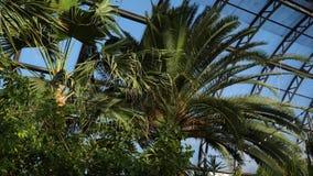 Palmen en uitheemse gewassen op achtergrond van serrevensters De exotische groene installaties en de bomen overleven in serres stock footage