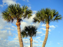 Palmen in Florida mit einem netten Hintergrund Stockfotos