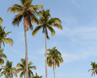 Palmen gegen blaue Himmel Stockfotografie