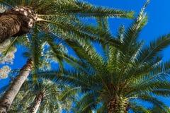 Palmen gegen den blauen Himmel Hintergrund Lizenzfreie Stockfotografie