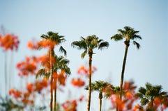 Palmen gesehen durch Poinciana Lizenzfreies Stockfoto