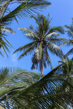 Palmen im blauen suuny Himmel Stockbilder