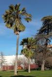 Palmen in im Stadtzentrum gelegenem San Jose Stockbilder