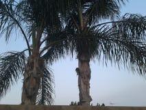 Palmen in Kalifornien Lizenzfreies Stockbild