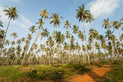 Palmen met Blauwe Hemel Stock Afbeelding