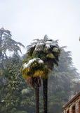 Palmen met sneeuw, de winterscène stock foto's