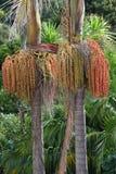 Palmen mit Früchten Stockfotografie