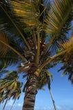 Palmen mit Kokosnüssen stockfoto