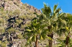 Arizona-Palmen Lizenzfreie Stockfotografie