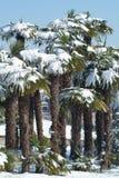 Palmen mit Schnee auf ihm Stockfotografie