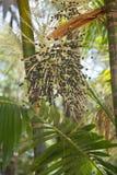 Palmen-Obstbaum-Nahaufnahme Acai Açaà Lizenzfreie Stockbilder