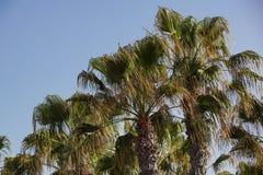 Palmen op een blauwe hemel en ble een hemelachtergrond, Stock Afbeelding