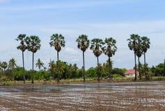 Palmen op het gebied Stock Afbeeldingen