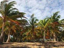 Palmen op het zandige strand Stock Foto