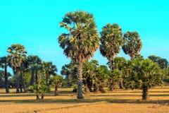 Palmen op padieveld Stock Afbeeldingen