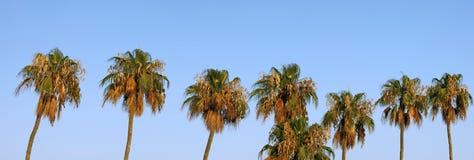 Palmen panoramisch Lizenzfreies Stockbild