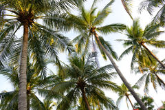 Palmen - perfekte Palmen Stockfoto