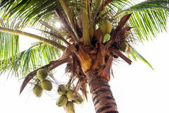 Palmen - perfekte Palmen, Kokosnüsse auf der Palme Lizenzfreies Stockbild